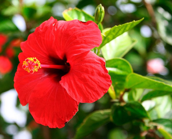 Китайская роза подходит для выращивания в домашних условиях и исключительно в декоративных целях