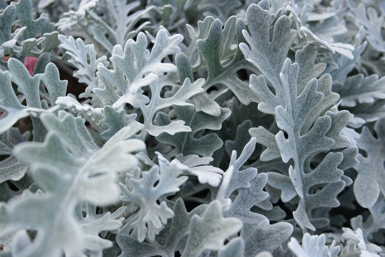 Растение используется как в любительском садоводстве, так и профессиональном ландшафтном дизайне