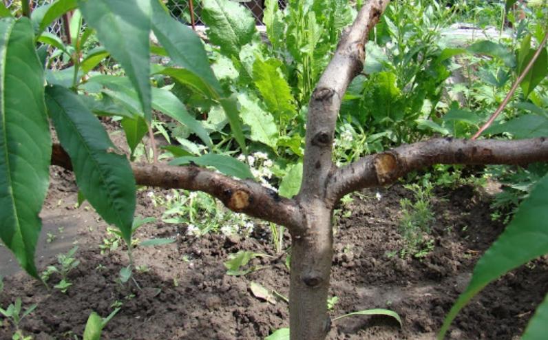 Если начиная с молодого возраста правильно формировать крону, то дерево будет разреженным и очень удобным в уходе и сборе урожая