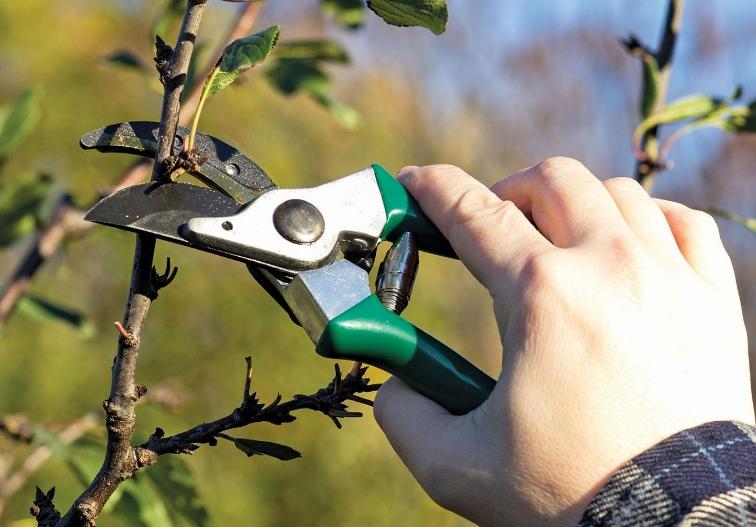 При укорачивании веток стимулируется рост боковых побегов из почек, что способствует увеличению количества завязей на дереве