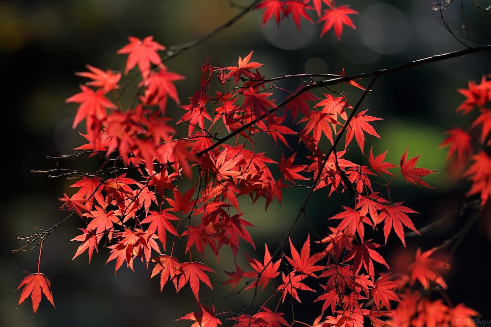 Фотография на японском слово клен