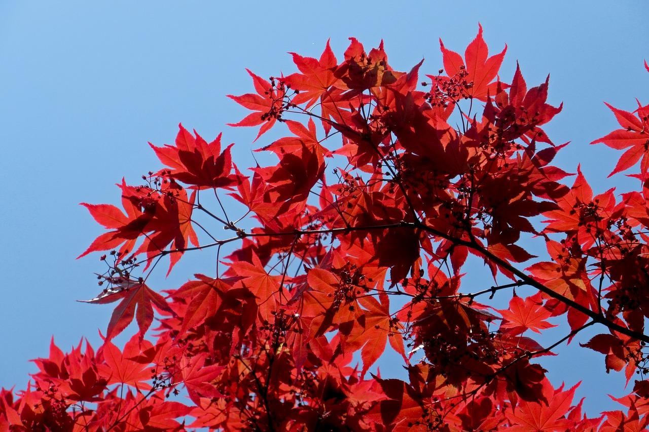 Листопадное дерево чаще всего встречается в горных районах