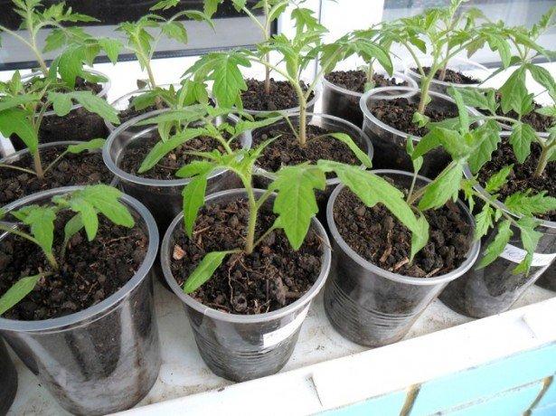 Сначала семена томатов проращиваются в оптимальных условиях, и лишь затем пересаживаются в грунт