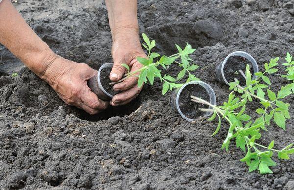 Посадка помидоров в открытый грунт производится, когда устанавливается устойчиво теплая погода