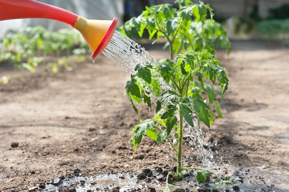 Орошать помидоры нужно через каждые 3 дня
