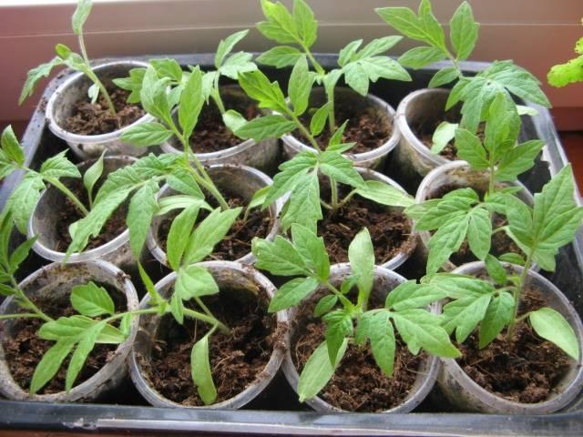 Семена черри проращиваются в тепличных условиях