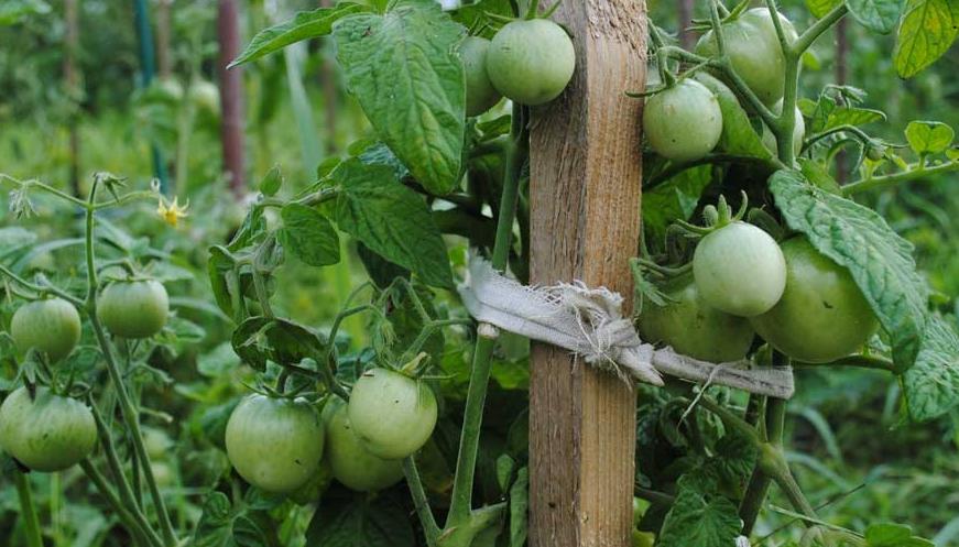 При выращивании в открытом грунте кустики лучше подвязывать, так как они вырастают больше и плоды крупнее