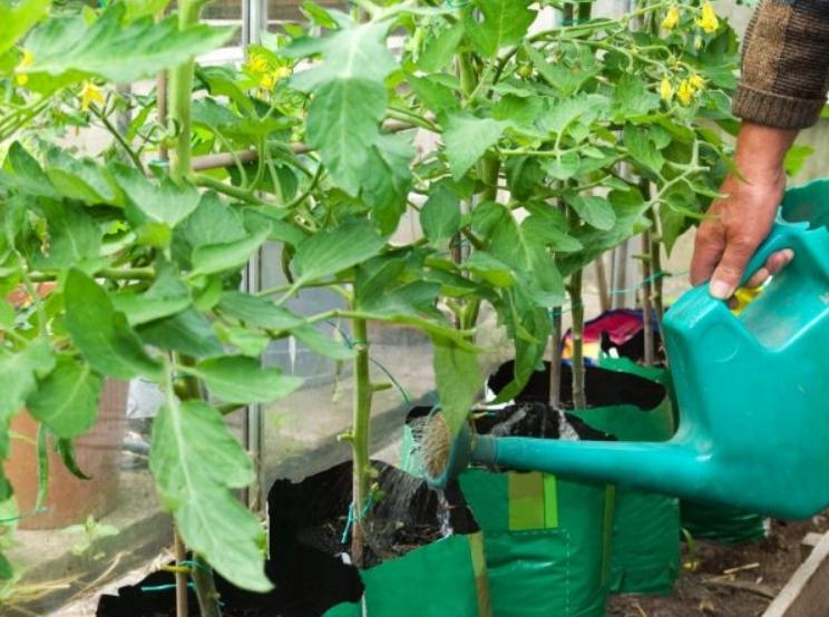 Калий и фосфор обеспечивает высокий иммунитет овощной культуры к болезням