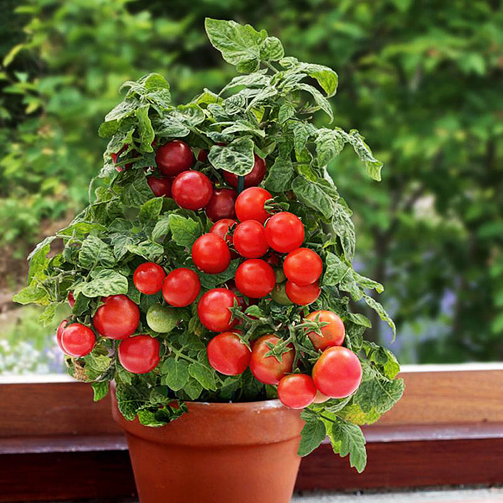 Бонсай томат стадии роста фото