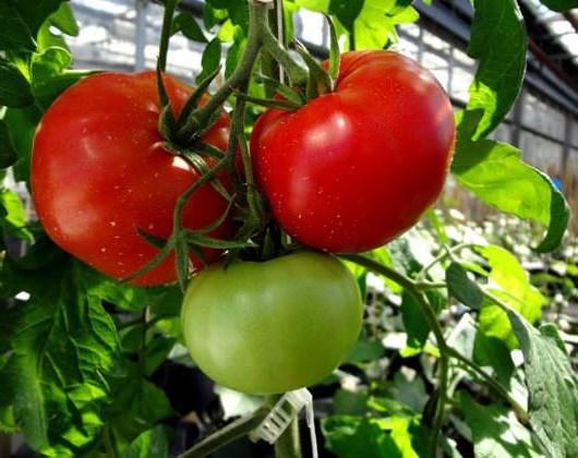 Как вырастить на своём участке волгоградский томат