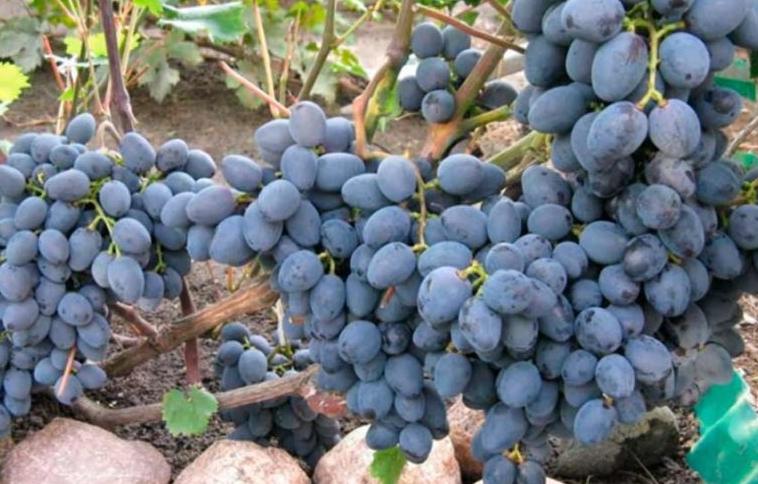 Созревает виноград достаточно рано, что важно для регионов с коротким летним промежутком