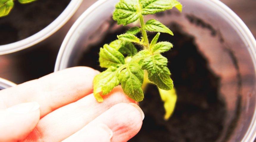 При появлении белокрылки листья начинают желтеть, сворачиваются