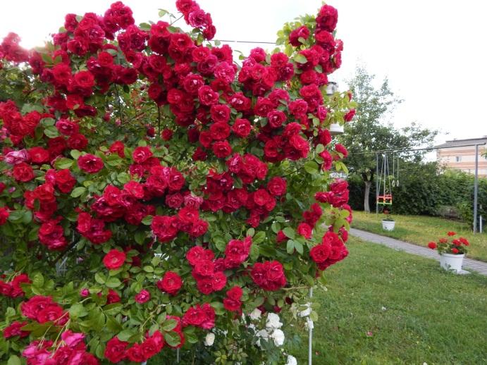 Неукрывные розы непрерывного цветения