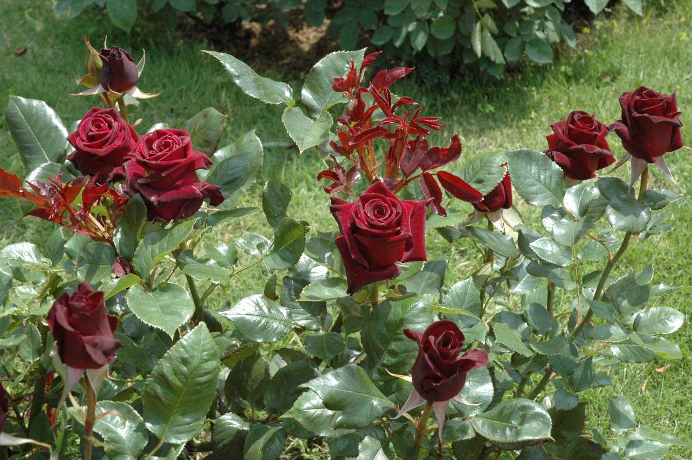 Для сохранения насыщенного темно-красного цвета рекомендуется высаживать в полутени