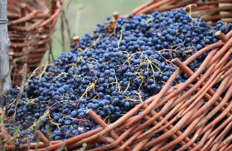 Собранные ягоды перед переработкой на вино рекомендуется выдержать 2-3 дня, чтобы они набрали еще больше сахара