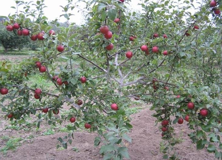 Деревья на карликовых подвоях начинают плодоносить очень рано