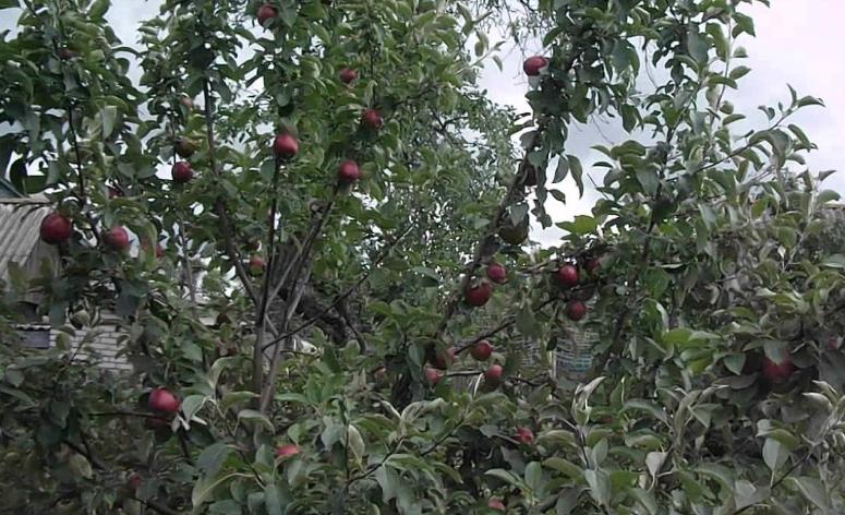Урожайность в первые годы невысокая, но она возрастает с каждым годом и выходит на нормальные показатели за 5-6 лет