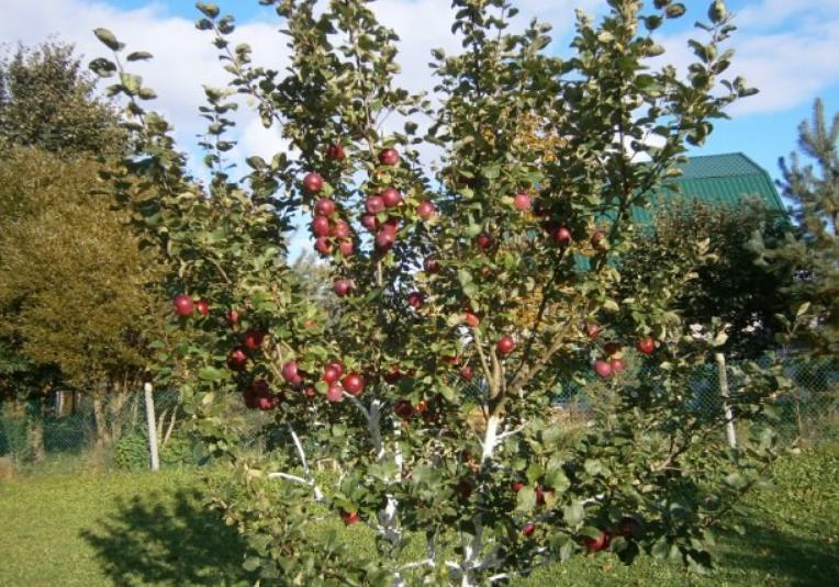 Деревья не очень большого размера, что обеспечивает удобство сбора урожая и профилактических обработок