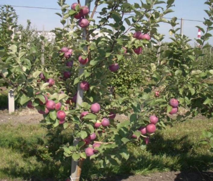 Густой восковой налет на яблоках хорошо защищает их в процессе хранения