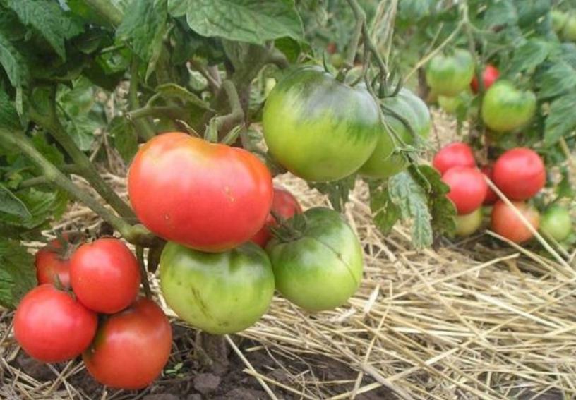 Так как под весом плодов нижние кисти могут опускаться на землю, почву можно мульчировать соломой или опилками
