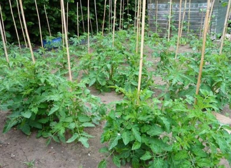 Хоть кусты и невысокие, для того, чтобы снять нагрузку со стебля и исключить полегание кустов они подвязываются к колышкам
