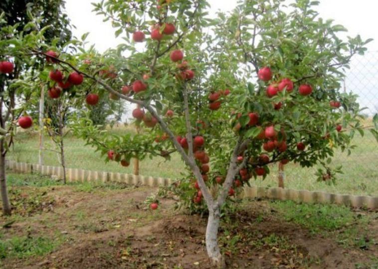 Яблоня разрастается быстро, главное – обеспечить нормальные условия для роста и развития