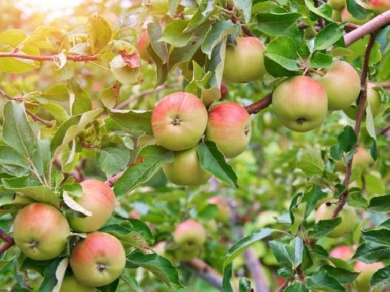 Яблоки завязываются каждый год, но если в один сезон урожай очень обильный, то на второй плодов может быть заметно меньше