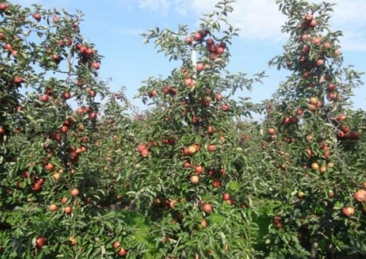 В Америке этот вариант часто применяется для выращивания на продажу, так как хорошо плодоносит с ранних лет