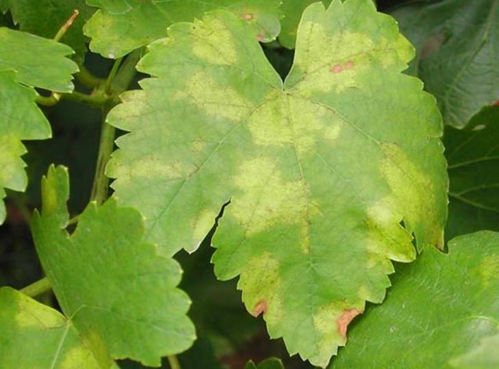 Первые признаки болезни — это желтоватые маслянистые пятна на поверхности листьев, чаще всего располагающиеся вдоль прожилок