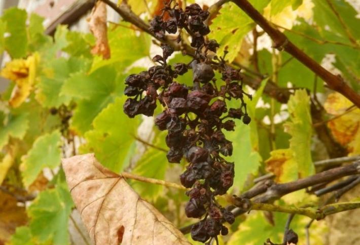 Если растению не хватает питательных веществ, то в первую очередь сохнут грозди, а не ветки и усы