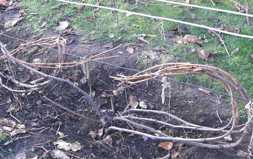 Правильно сформированные кусты удобно укрывать на зиму и привязывать на шпалеру весной