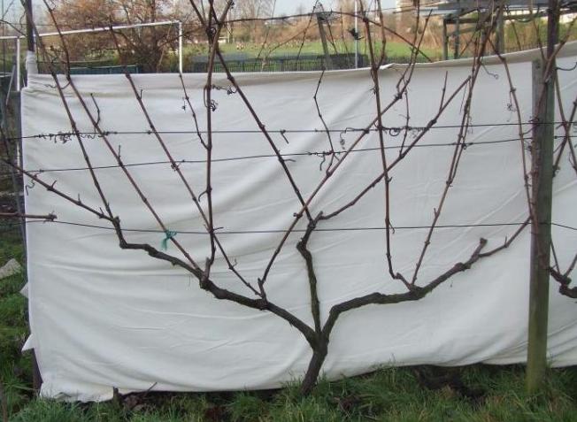 Если укрывать виноград без обрезки, куст получается очень объемным и работы проводить намного сложнее.