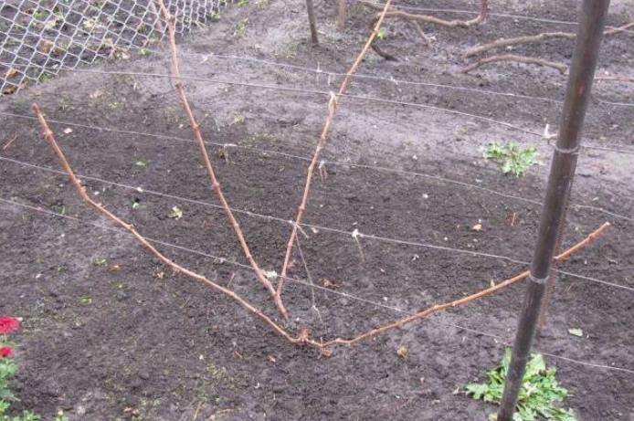 Молодые растения обрезать несложно, на фото пример растения в 3 года
