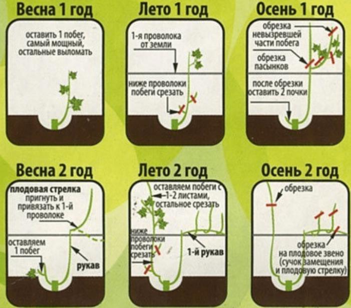 В первые годы очень важно оставлять самые крепкие побеги, чтобы растение росло и формировалось быстрее