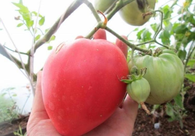 Период плодоношения очень длинный, поэтому томаты собираются по мере их созревания