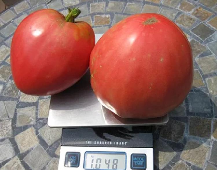 Плоды крупные, при этом хорошо переносят транспортировку и достаточно долго хранятся в прохладном помещении