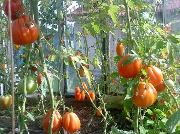 При выращивании в теплице томаты созревают намного раньше и плодоносят до наступления холодов
