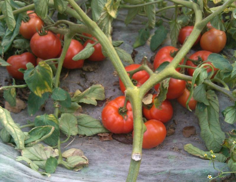 томат полбиг отзывы фото куста слухам, площадке между
