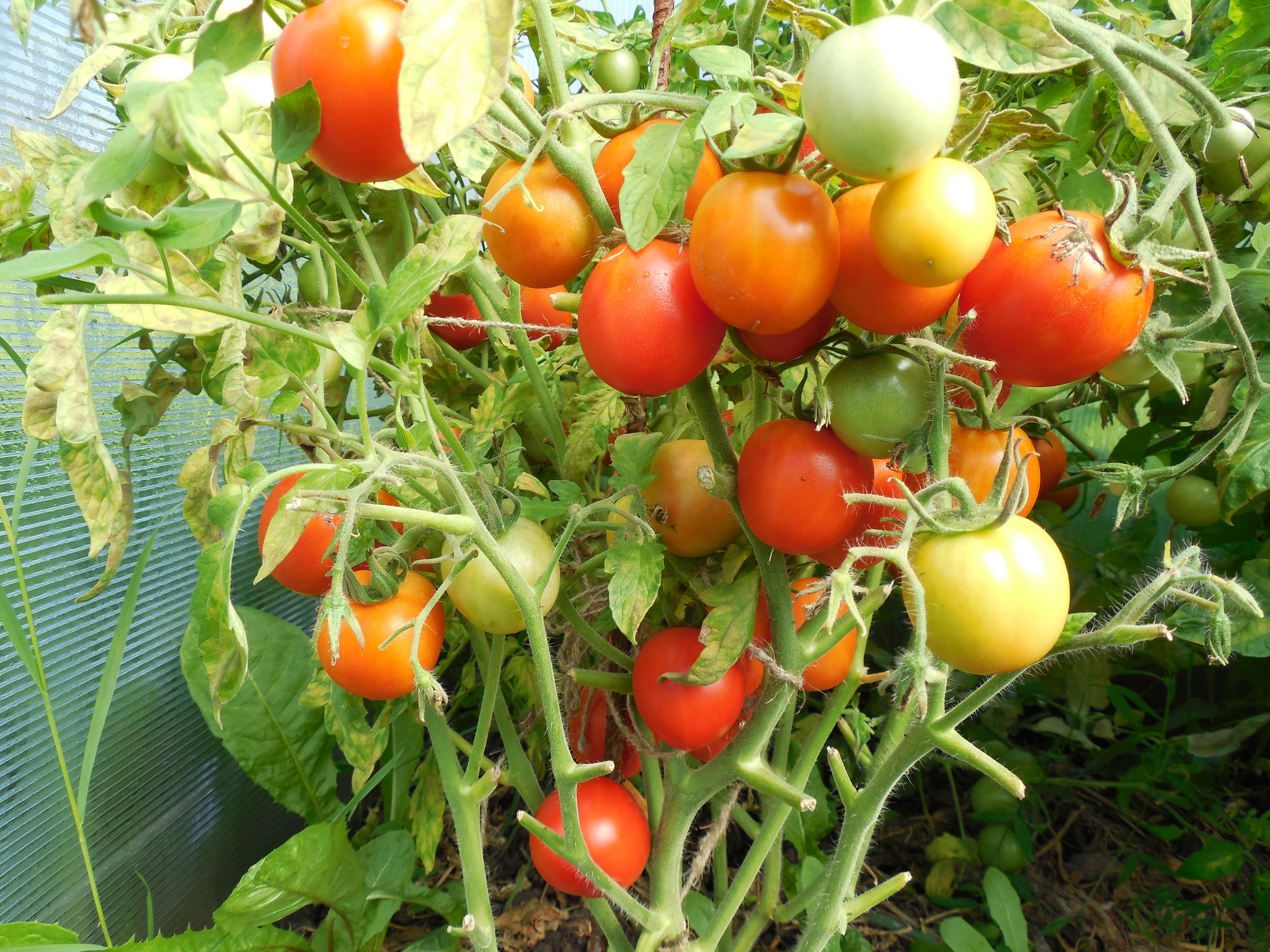 Детерминантные томаты неприхотливы, устойчивы к похолоданиям