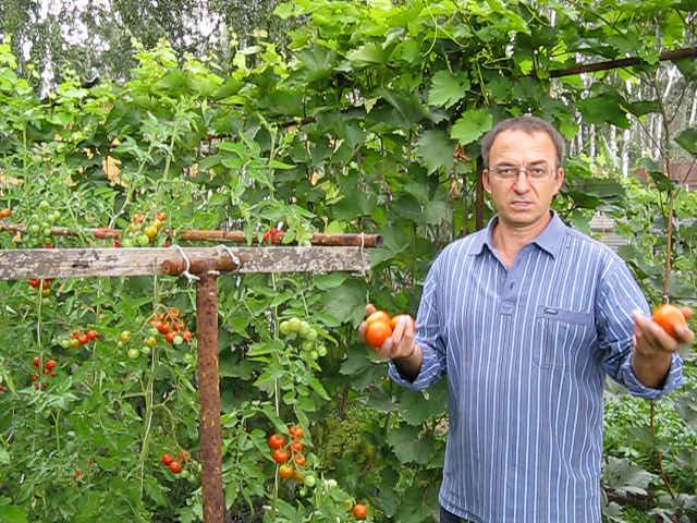 Большинство огородников, выращивающих томаты Президент, довольны этим сортом
