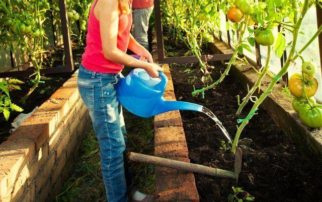 Орошать помидоры нужно 1–2 раза в неделю