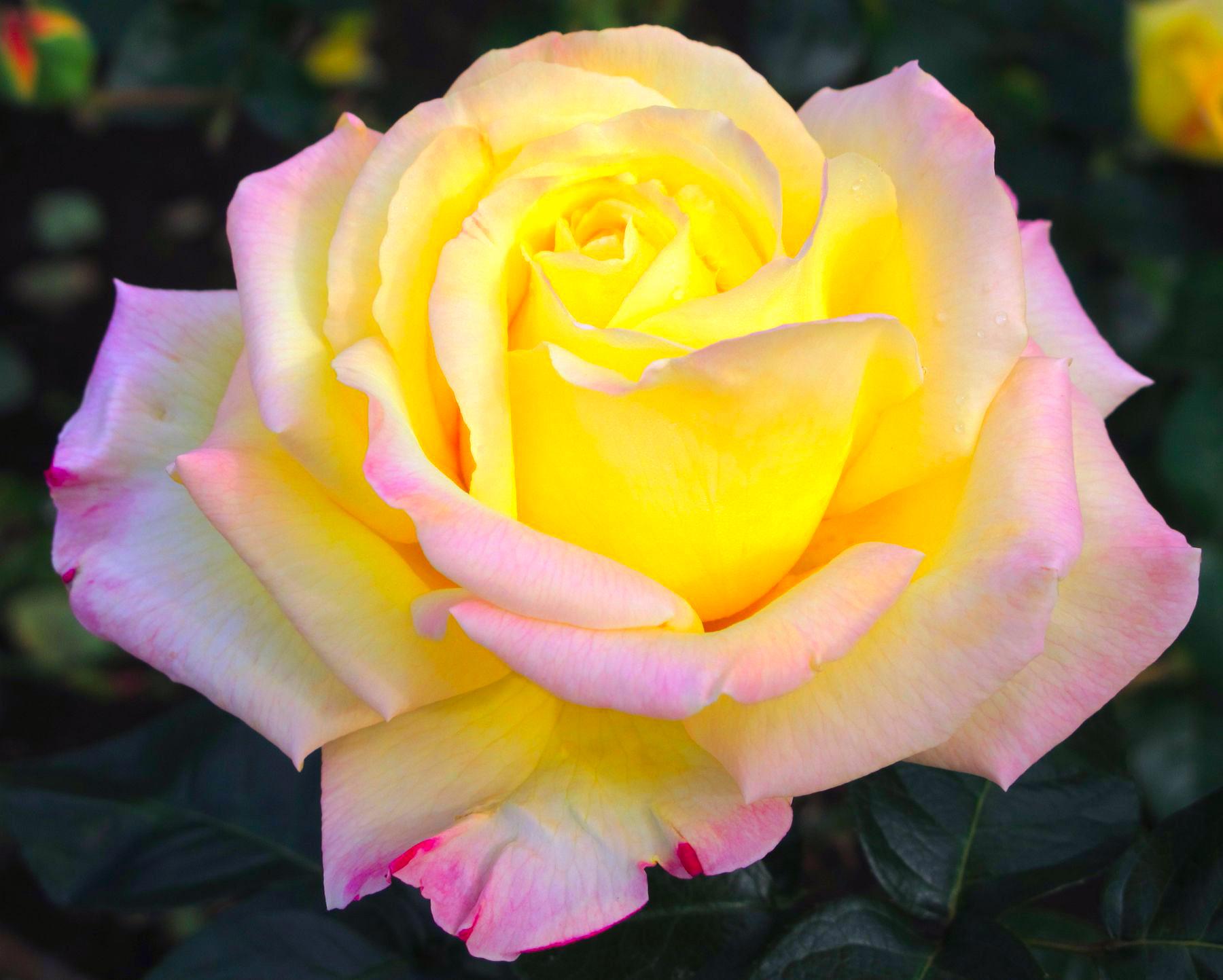 определиться заказать сорт розы глория дей фото должно