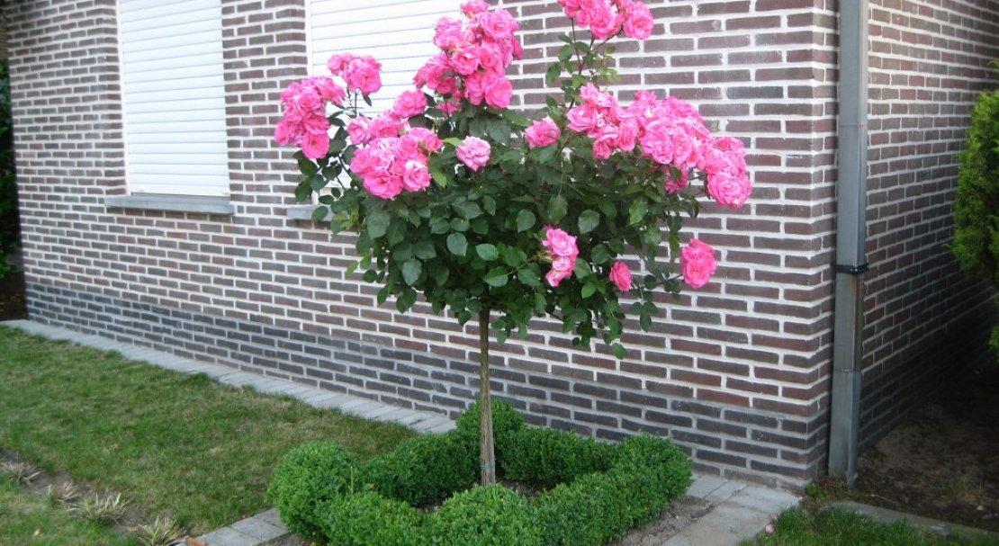 Посадить штамб обязательно стоит, ведь оказывается посадка и уход штамбовых роз – не такой уж трудоемкий процесс