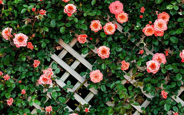 розы в саду и огороде фото