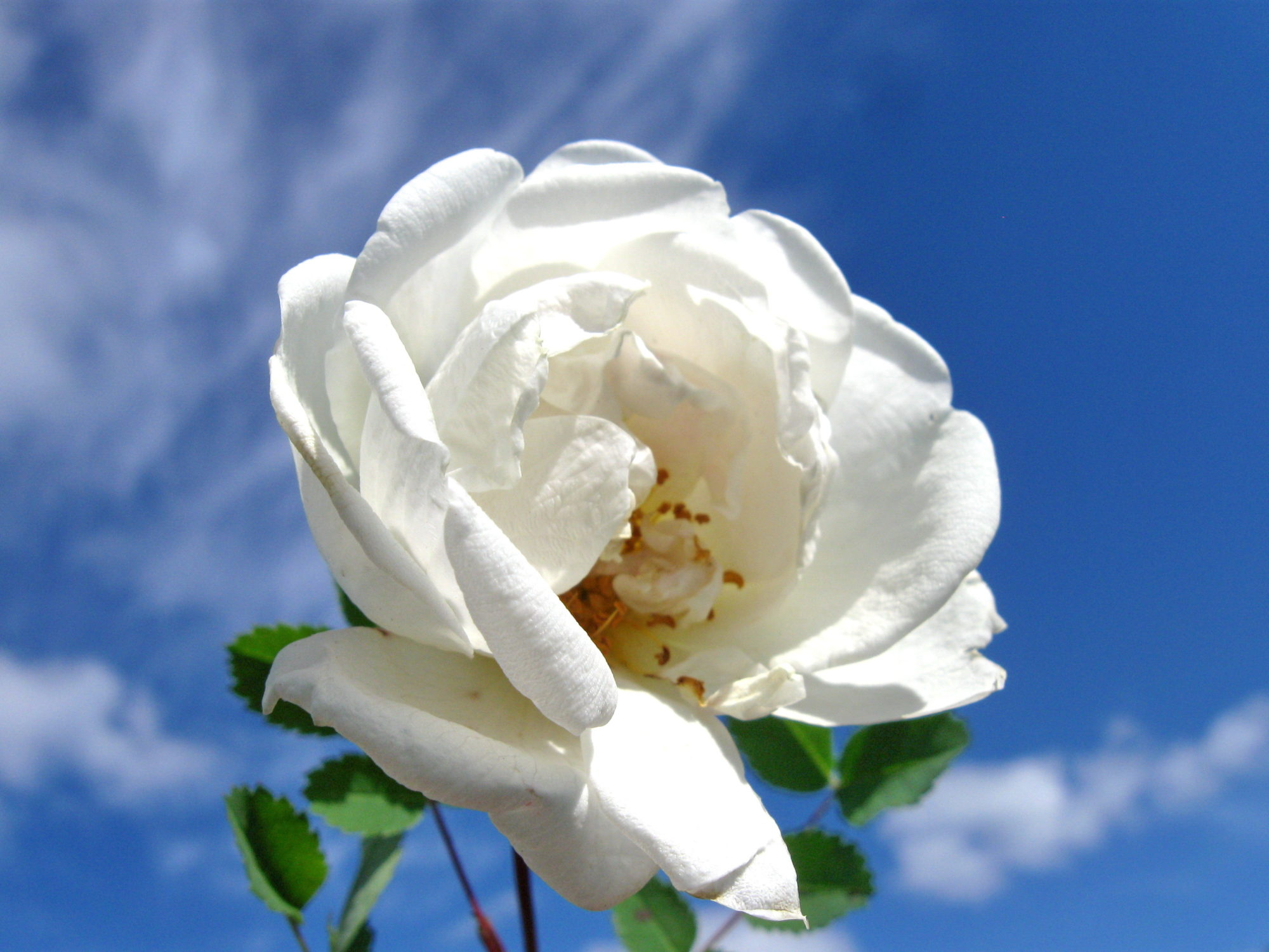 У этого растения есть гигантское число культурных форм, выращиваемых под общим наименованием Роза. Так же профессиональные ботаники в большинстве случаев именуют и сам шиповник, добавляя только, что это форма дикой розы.