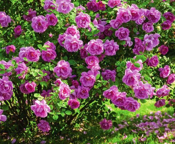Фото розы Adam Messerich, отличающейся сильным, стойким аромаом
