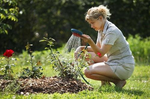 Полив осуществляется по мере подсыхания почвы, каждый куст должен получать не менее 5 л воды. Если речь идет о плетистом сорте — 10–15 литров. Поливают аккуратно под корень.