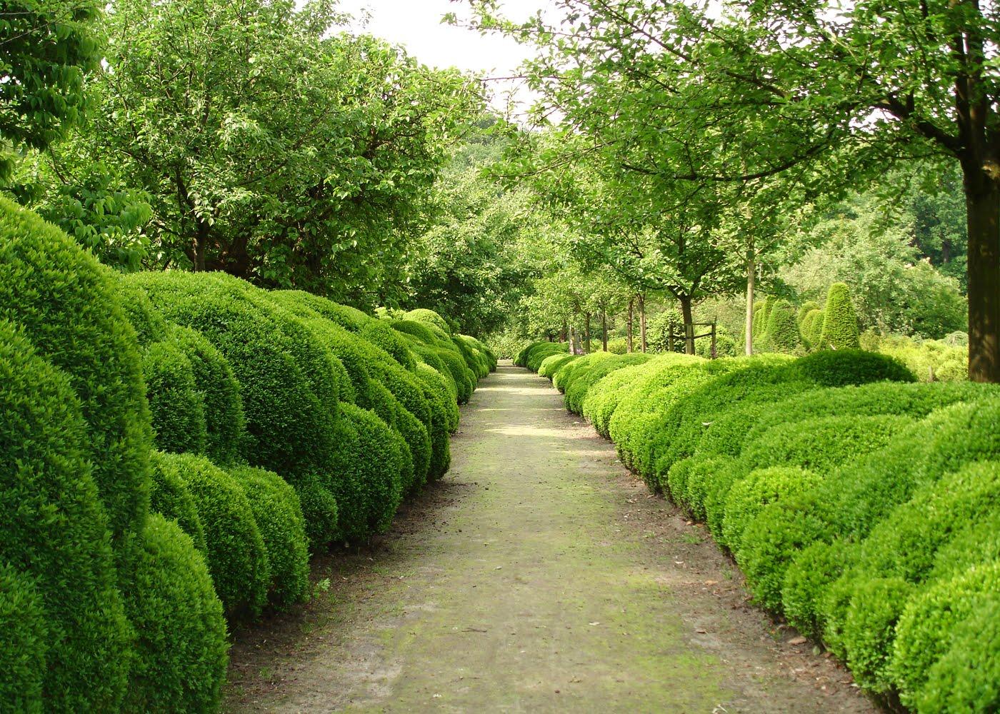 Самшит – популярное растение для обустройства живой изгороди