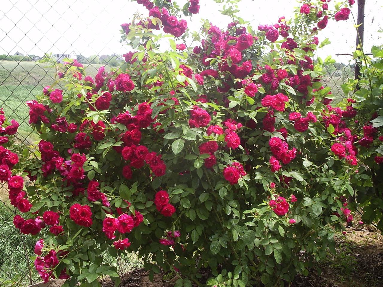 Грамотно подобранный сорт розы не требует постоянного ухода