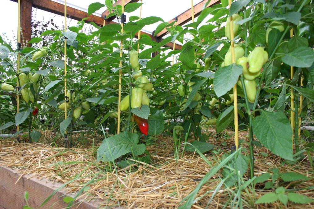 Количество листьев зависит от условий выращивания перца